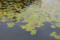 Water lily pads on the Ibm lake, or Heratinger lake, in Upper Austria, in autumn. It's rainy weather. A nature reserve next to the Ibm moorland. Ibm, Upper Austria, Europe.