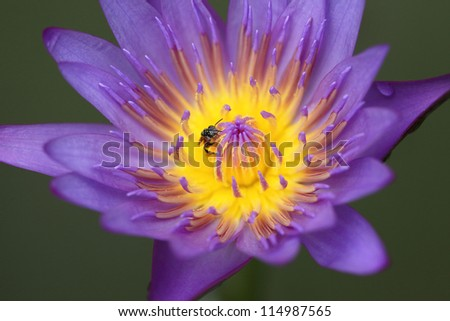 water lily violet and bee - stock photo
