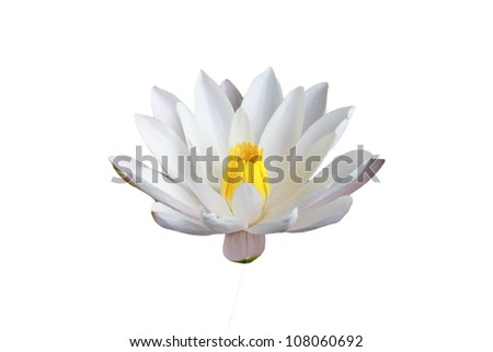 water lily white Lotus