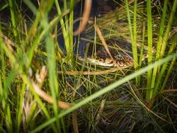 Water moccasin venomous snake in water