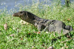 Water Monitor in grass field