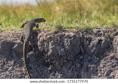 Water Monitor Lizard hunting for prey in Chobe National Park stock photo