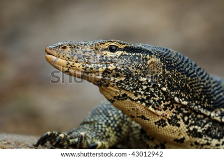 Water Monitor Lizard (Varanus salvator) in Sri Lanka