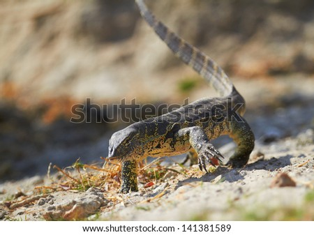 Water monitor on the banks of the Chobe River in Southern Africa. Focus on face, Shallow DOF