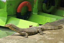 Water Monitor (Varanus salvator) also sometimes called erroneously Komodo Dragon