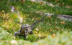 Water monitor (Varanus salvator) crawls for food in the park.