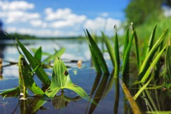 Water plants with insects on a river in summer sunny day