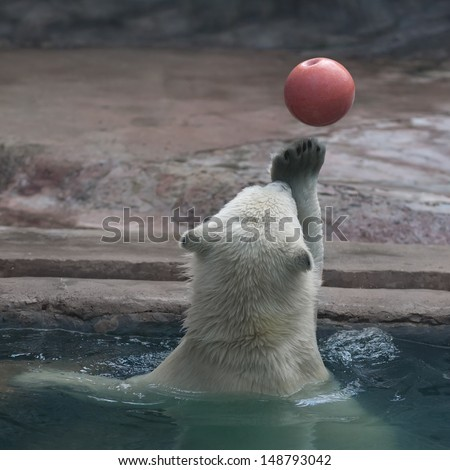 Water polo game in zoo. A young polar bear shows his skills in ball game. A white bear cub juggles with orange ball in pool.