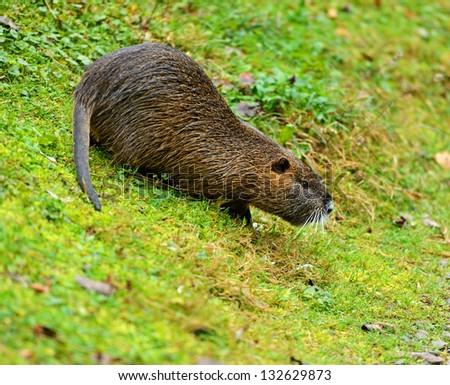 Water rat Muskrat on green grass