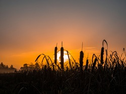Water reed in the rays of the rising sun. Morning dawn. Evening sunset. Evening dawn. Fog over the meadow. Water reed. Fishing place. Hunter's place. Natural landscape. Background image.