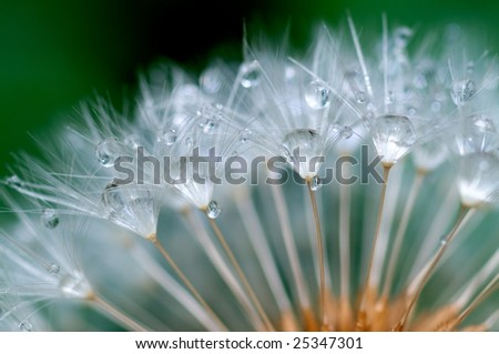 Water  remain in the dandelion