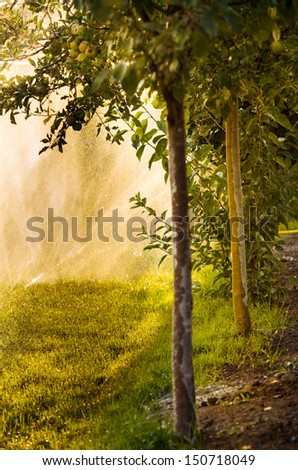 Water sprayed apple trees and natural back lighting in summer afternoon