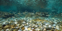 Water surface and rocky seabed with a shoal of grey mullet fish, underwater seascape in the Mediterranean sea, Spain