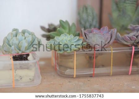 Water therapy for dehydrated echeveria succulents Foto stock ©