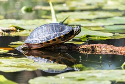 Water turtle with yellow belly in a ditch with water lily leaves.