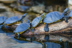 Water turtles in row marching on a log