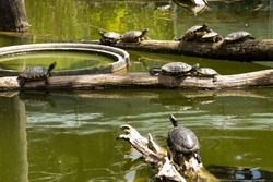 Water turtles on pieces of wood in the middle of pond, sunny day