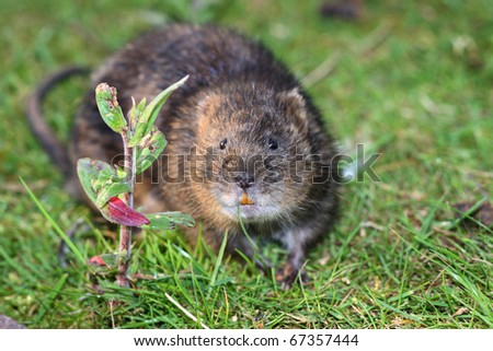 Water Vole on bank of fresh water lake in UK feeding on grass.