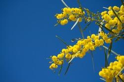 Water wattle, a species of Acacias, also known as Swamp Wattle, Retinodes water wattle, Wirilda. Yellow flowers on blue sky background