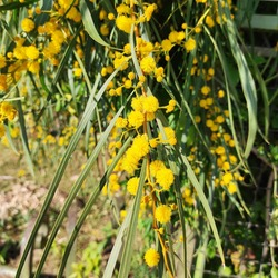 Water wattle: a species of Acacias, also known as Swamp wattle, Retinodes water wattle, Wirilda, Ever blooming wattle, its botanical name is Acacia retinodes.