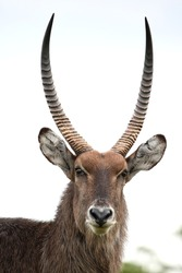 Waterbuck antelope with shaggy fur and large curved horns