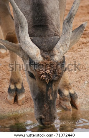 Waterbuck at drinking hole
