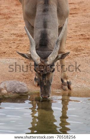 Waterbuck drinking from the watering hole - Kobus ellipsiprymnus