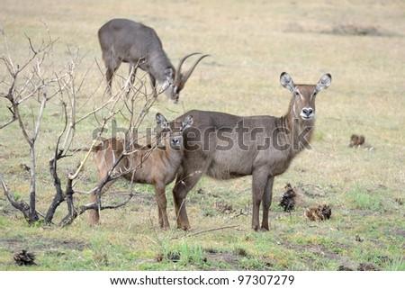 Waterbuck family at Arusha national park in Tanzania