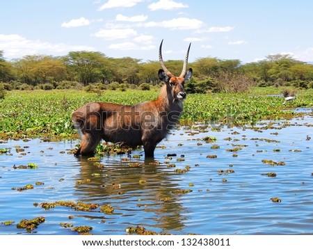 waterbuck in lake naivasha, kenya,  africa