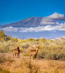 Waterbuck, large antelope in Africa over Kilimanjaro mountain peak in Amboseli park in Kenya