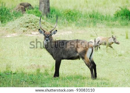 Waterbuck, Murchison Falls National Park (Uganda)