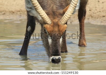 Waterbuck - Wildlife Background from Africa - Quenching thirst from Mother Earth\'s well of golden liquid