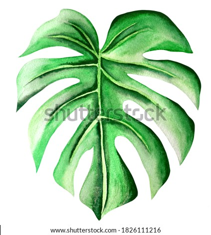 Watercolor Adam rib foliage, green leave plant, handmade, isolated, white background Stok fotoğraf ©
