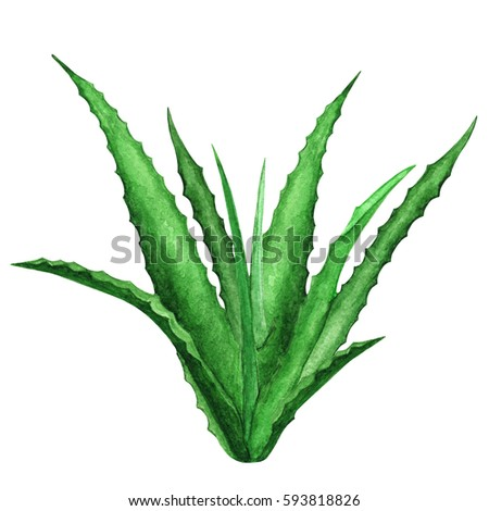Watercolor agave, aloe vera, green plant close up isolated on white background