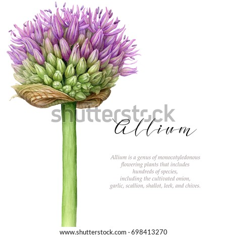 Watercolor allium. Botanical art on white background.