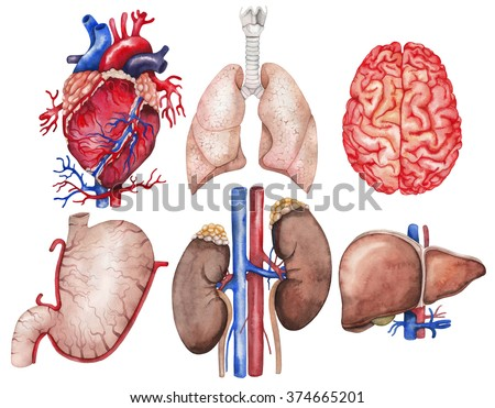 Watercolor anatomy collection.  Heart, lungs, brain, stomach, kidney, liver. Human body parts isolated on white background.  Medical illustration