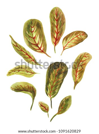 Watercolor arrowroot's leaves isolated on white background. Hand drawn floral elements