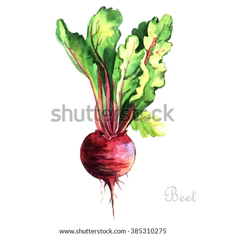 Watercolor Beet. Watercolor painting on white background. Illustration for greeting cards, invitations, and other printing projects.