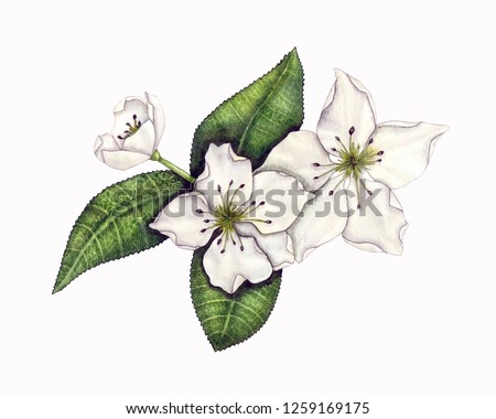 Watercolor botanical illustration of a blossoming branch of a pear tree.