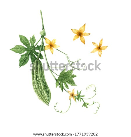 Watercolor botanical set with flowers and branches of momordica on white. Momordica, bitter melon, bitter apple, bitter gourd, bitter squash, balsam-pear. Hand drawn floral elements for your design.