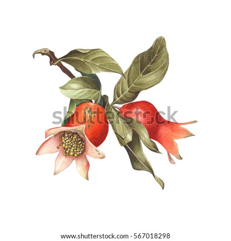 Watercolor branch of pomegranate fruit, isolated on white background. Hand drawn botanical illustration for Save the Date, Valentines day Cards, Wedding invitation, Covers. Poster & textile design.