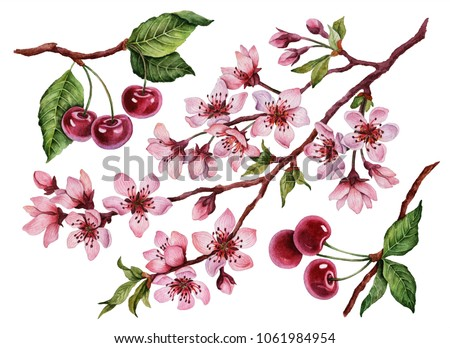 Watercolor cherry blossom set, hand painted illustration with flowers and berries isolated on a white background.