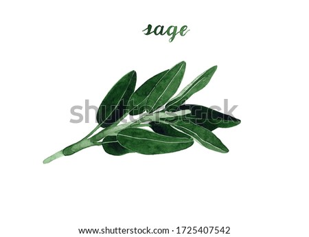 Watercolor clary sage illustration. Hand drawn branch and leaves isolated on white background. Botanical Illustration. Herbal medicine and aroma therapy. Cosmetic, perfumery and medical plant