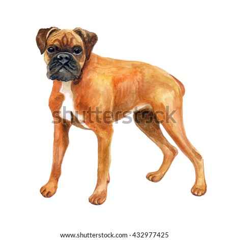 Watercolor closeup portrait of German boxer, deutscher boxer breed dog isolated on white background. Medium-sized, short-haired breed dog. Hand drawn sweet home pet. Greeting card design. Clip art