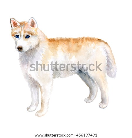 Watercolor closeup portrait of rare golden Husky dog isolated on white background. dog posing at dog show. Hand drawn sweet home pet. Popular large sled-type breed dog. Greeting card design. Clip art