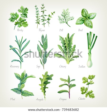 Watercolor collection of culinary herbs isolated on white background with clipping path included. Parsley, thyme, dill, basil, rosemary, sage, chicory, scallion, mint, arugula, oregano, cilantro.