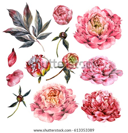Watercolor Collection of Pink Peonies, Buds, Petals and Foliage Isolated on White. Botanical Illustration in Vintage Style. DIY Set for Wedding Design.