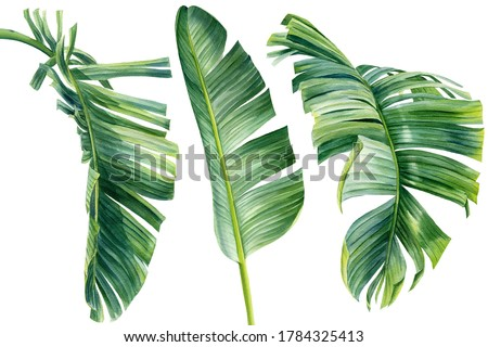 Watercolor Collection of tropical leaves, isolated on white background. palm leaf, jungle clipart