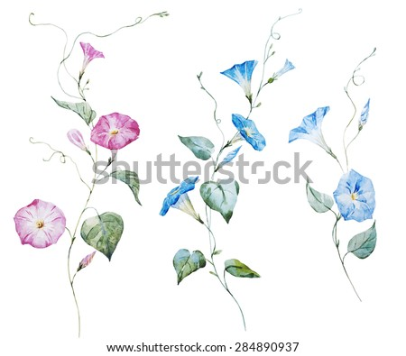 watercolor  drawing delicate pink and blue flowers, morning glory
