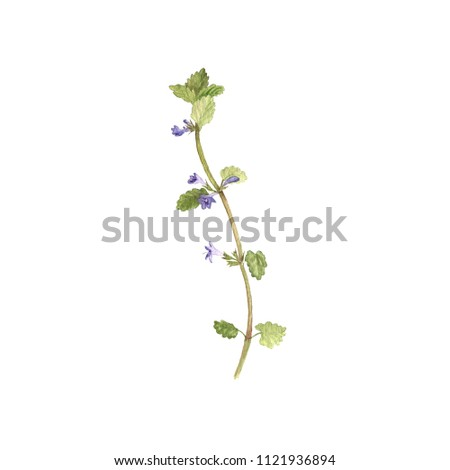 watercolor drawing flower of ground-ivy, painted botanical illustration, hand drawn floral illustration